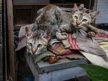 Twee katten die aan de camera met waakzaam oog kijken stock foto