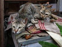 Twee katten die aan de camera met waakzaam oog kijken royalty-vrije stock foto's