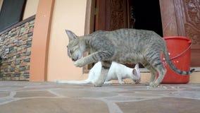 Twee katten die resterend voedsel van emmer eten stock footage