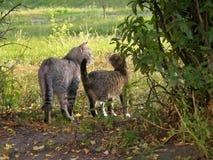 Twee katten het lopen Stock Foto