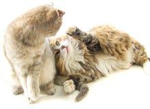 Twee katten het spelen Stock Foto