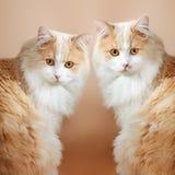 Twee katten op oranje achtergrond Royalty-vrije Stock Foto
