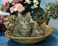 Twee katten in trug Royalty-vrije Stock Fotografie