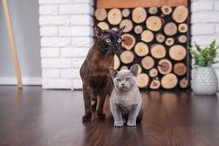 Twee katten, vader en zoonskatten bruin, chocoladebruin en grijs katje met grote groene ogen op de houten vloer op donkere whi al Royalty-vrije Stock Foto