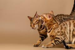 Twee Katten van Bengalen het Sissen Stock Foto