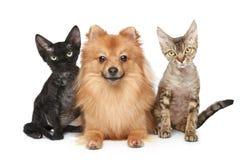 Twee katten van Devon Rex en Spitz hond Royalty-vrije Stock Fotografie
