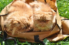 Twee katten in zak Stock Afbeeldingen