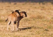 Twee kereltjes Wildebeest Stock Afbeeldingen