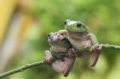 Twee kikkers Stock Foto
