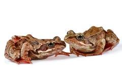Twee kikkers Royalty-vrije Stock Fotografie