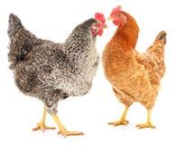 Twee kippen Royalty-vrije Stock Afbeeldingen