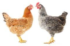 Twee kippen Royalty-vrije Stock Fotografie
