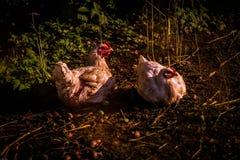 Twee Kippen die Eieren leggen royalty-vrije stock afbeeldingen