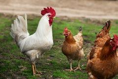 Twee kippen en een haan Royalty-vrije Stock Foto