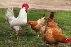 Twee kippen en een haan Stock Fotografie