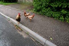Twee kippen en een haan op de asfaltplattelander Stock Foto