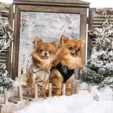 Twee kleden-op Chihuahuas op een brug royalty-vrije stock foto