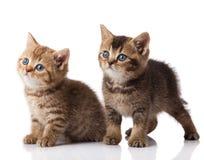 Twee klein blauw ogenkatje Britse geïsoleerde rassenkatjes Stock Afbeeldingen