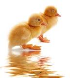 Twee klein eenden en water Stock Foto's