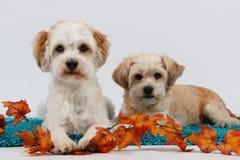 Twee klein hondenportret Stock Fotografie