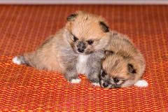 Twee Klein pluizig Pomeranian puppy Royalty-vrije Stock Afbeelding