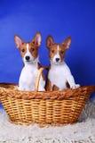 Twee kleine Basenji puppys Stock Foto