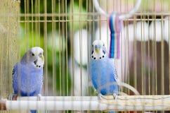 Twee kleine blauwe parotts in kooi Stock Afbeeldingen