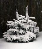 Twee kleine bont-bomen Stock Foto