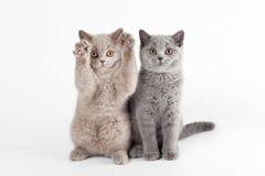 Twee kleine Britse katjes Royalty-vrije Stock Foto's