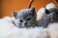 Twee kleine Britse katjes die in mand op oranje achtergrond zitten royalty-vrije stock afbeeldingen