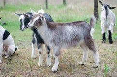 Twee kleine geiten op het boerenerf Royalty-vrije Stock Afbeelding