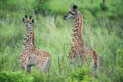 Twee kleine Giraffen in Tanzania Royalty-vrije Stock Foto