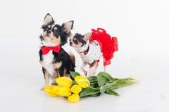 Twee kleine honden met gele tulpen Stock Foto
