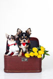 Twee kleine honden zitten in doos met gele tulpen Royalty-vrije Stock Afbeelding