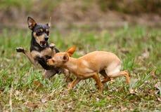 Twee kleine hondenbeet elkaar in de de herfstopheldering De mooie puppy spelen buiten Royalty-vrije Stock Fotografie