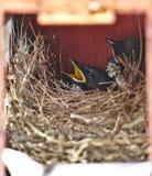 Twee kleine hongerige zwarte oosterse vogels van eksterrobin bepalen veilig in klein comfortabel bruin houten nest in oude roesti stock foto