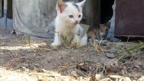 Twee kleine katten in dorp in de geel en grijze yard, één, en andere wit en zwart stock video