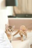 Twee kleine katten of katjes Stock Afbeeldingen