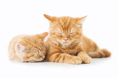 Twee kleine katten van Gember Britse shorthair over witte achtergrond Royalty-vrije Stock Foto's
