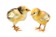 Twee kleine kippen Royalty-vrije Stock Afbeeldingen