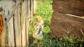 Twee kleine kippen Royalty-vrije Stock Afbeelding
