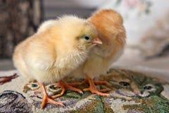 Twee kleine kippen die zich op een decoratief hoofdkussen bevinden Stock Foto