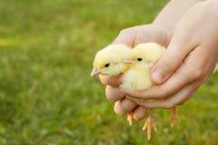 Twee kleine kippen in vrouwenhanden Stock Afbeelding