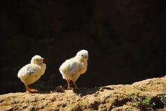 Twee kleine kuikenstribunes op de grond Royalty-vrije Stock Foto's