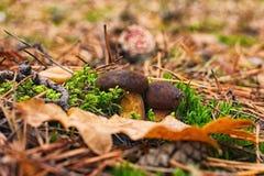 Twee kleine paddestoelen die door de grond in het de herfstbos ontspruiten Royalty-vrije Stock Foto's
