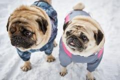 Twee kleine pugs in de winter Royalty-vrije Stock Foto's