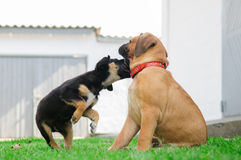 Twee kleine puppy Stock Fotografie
