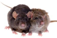 Twee kleine ratten Royalty-vrije Stock Afbeeldingen
