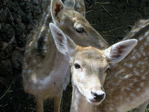 Twee kleine rode herten Stock Afbeelding