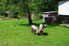 Twee kleine varkens op een gras Royalty-vrije Stock Afbeelding